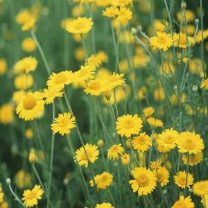 Chiết xuất hoa cúc