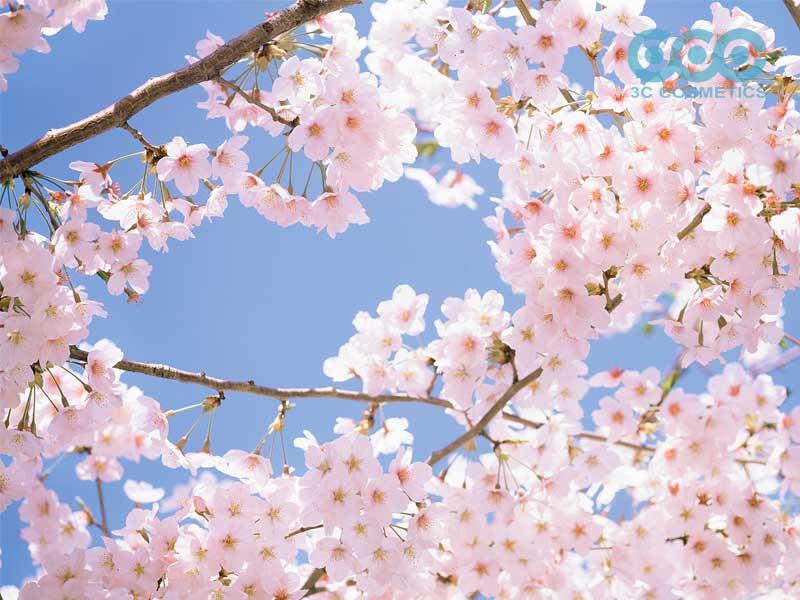 chiết xuất từ hoa anh đào có công dụng gì?