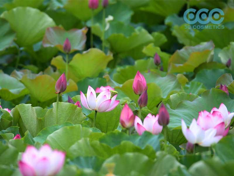 dưỡng da trắng mịn sạch mụn từ hoa sen