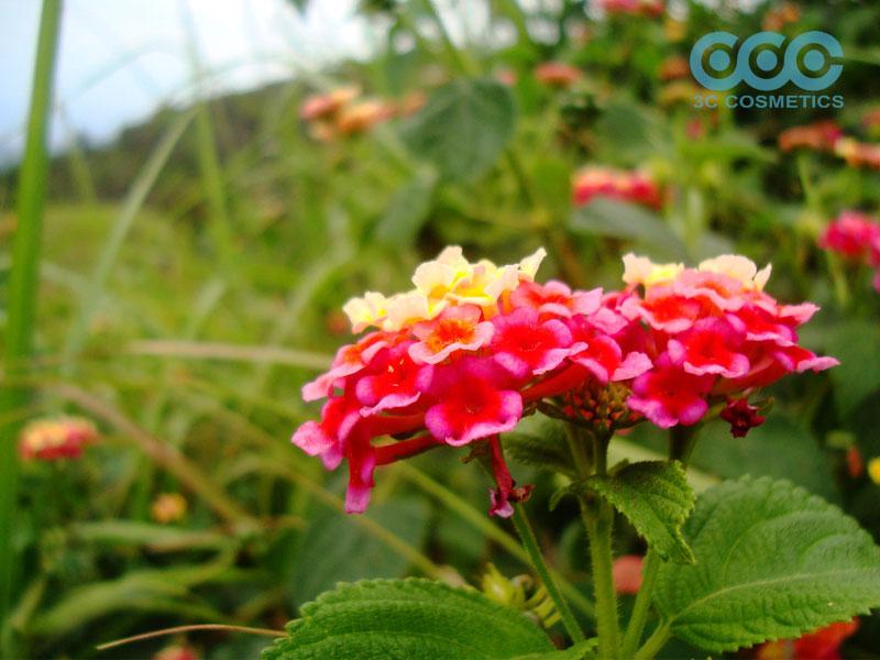 Ứng dụng của công dụng cây hoa ngũ sắc trong đời sống
